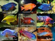 Цихлиды Америки, озеро Малави и Таньганика более 40 разных видов )