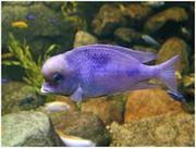 цихлида ( дельфин голубой   )