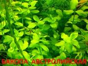 Бакопа австролийская и  растения -  НАБОРЫ растений для запуска аквас