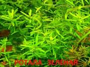 Ротала зеленая и др. растения ------ НАБОРЫ растений для запуска-