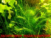 Лагарасифон мадагаскарский  ----- НАБОРЫ растений для запуска--