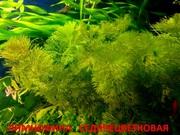 Лимнофила седячецветковая  -- НАБОРЫ растений для запуска--