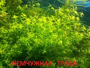Жемчужная трава и др. растения ----  НАБОРЫ растений для запуска--