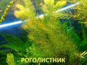 Роголистник и др. растения - НАБОРЫ растений для запуска--