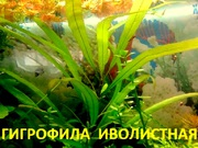 Гигрофила иволистная  растения ---- НАБОРЫ растений для запуска--