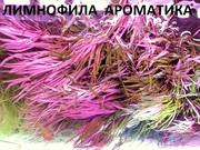 Лимнофила ароматика - НАБОРЫ растений для запуска акваса-