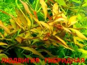 Людвигия гибридная - НАБОРЫ растений для запуска акваса-------