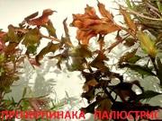 Прозерпинака палюстрис и др. растения -- НАБОРЫ растений для запуска-