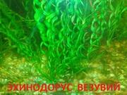 Эхинодорус везувий и др. растения -- НАБОРЫ растений для запуска---