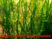 Эхинодорус везувий - НАБОРЫ растений для запуска--