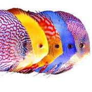 дискус пять цветовых вариаций