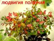 Людвигия ползучая. НАБОРЫ растений для запуска---------------