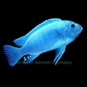 Голубой псевдотрофеус