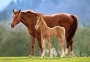 Куплю лошадей жеребят живым весом в Витебской области