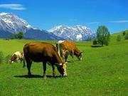 Куплю коров в Витебской области